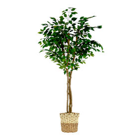 Picture of Green Ficus Tree with 3 Trunks