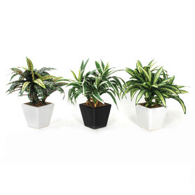 Picture of Dracaena Taper Plant in Square Pot- 11 in. (sold separately)