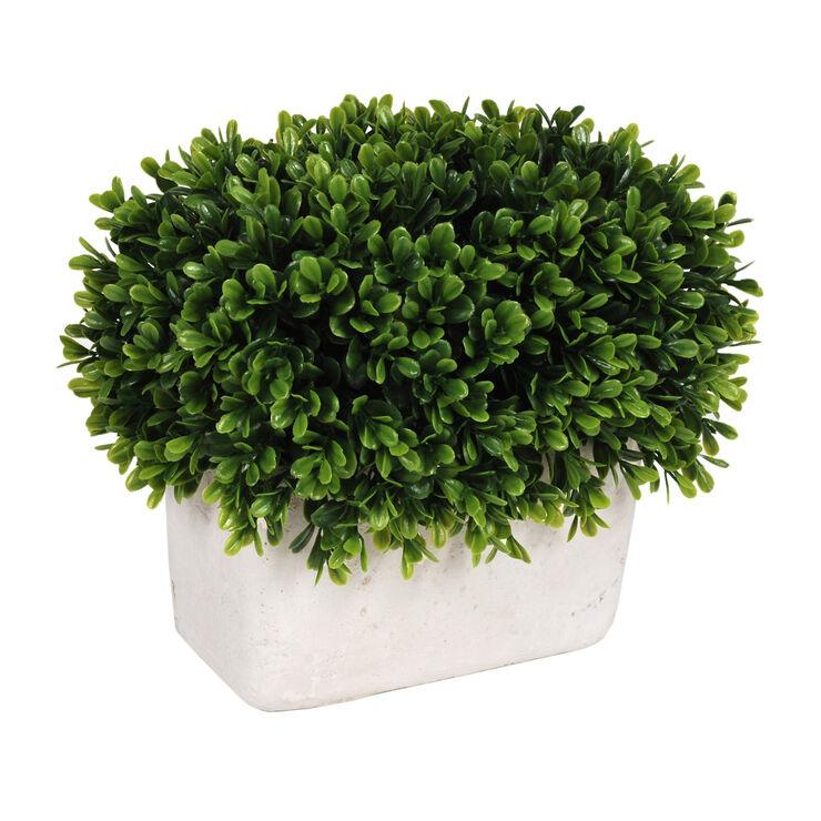 Boxwood Topiary in White Pot- 8.5 in