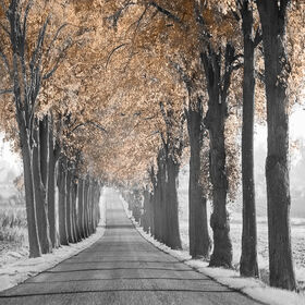 Picture of Path of Trees High Gloss Canvas Art- 16x20  in.