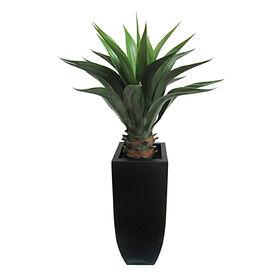 Agave in Black Pot