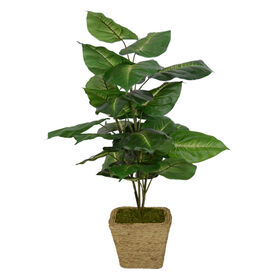 Picture of Broad Leaf Floor Plant in Basket