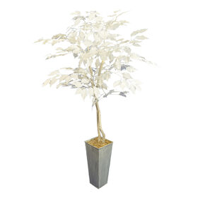 Picture of White Ficus Plant