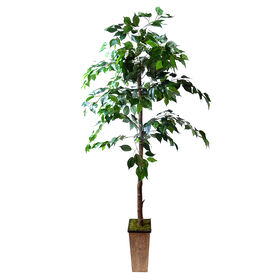 Picture of Nested Green Ficus - 6 ft. H