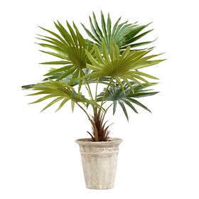 Picture of 16-in. Fan Palm in Pot