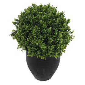 Picture of Boxwood in Black Pot- 16 in.